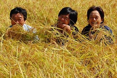 稲に埋もれる3人