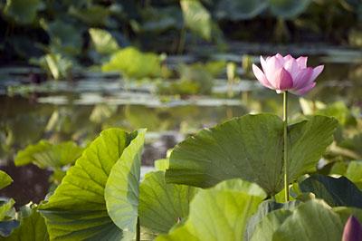 泥水に咲く天上の花