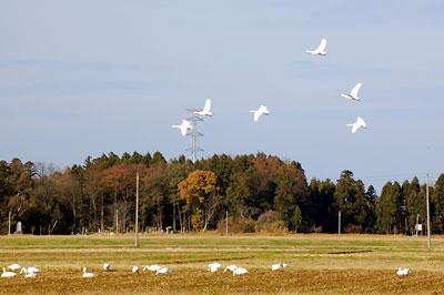 白鳥が飛んでいる!