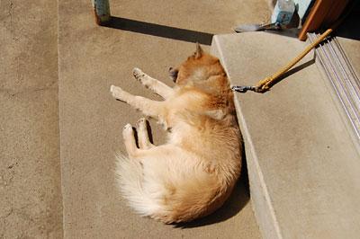 内山さん家の愛犬ピース君