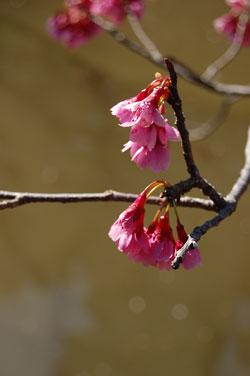寒緋桜でしょうか?