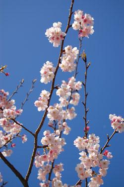 もう桜を楽しめます