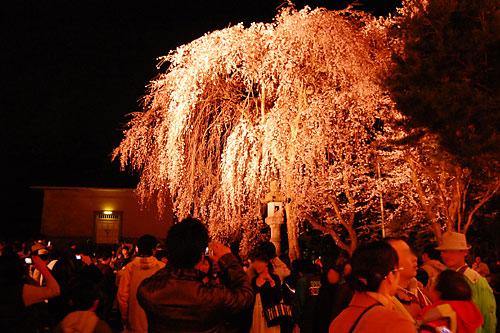 忠霊塔前の枝垂桜