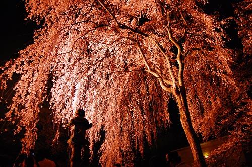 上越市民自慢の枝垂桜