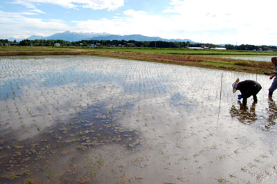 田植え後の水田で、生育調査