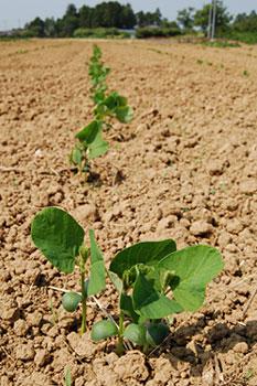 十五夜豆の芽