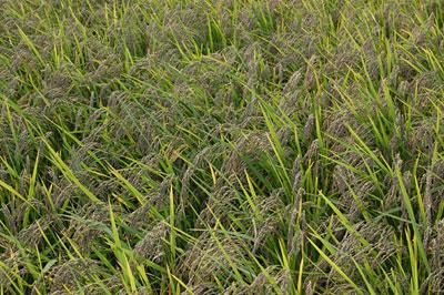 古代米・黒米の稲穂