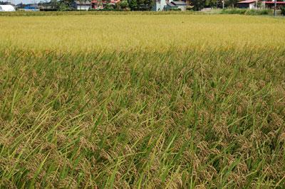 普通のお米と、古代米黒米