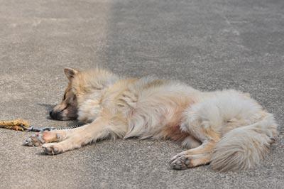 内山家の愛犬ピース