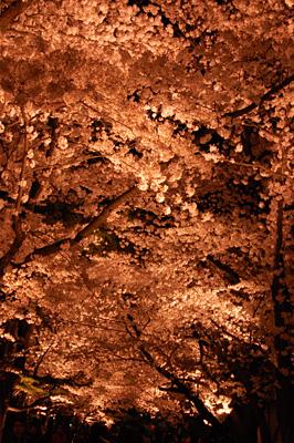 輝く桜並木