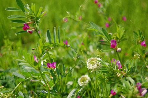 烏野豌豆(カラスノエンドウ)と白詰草(シロツメクサ)