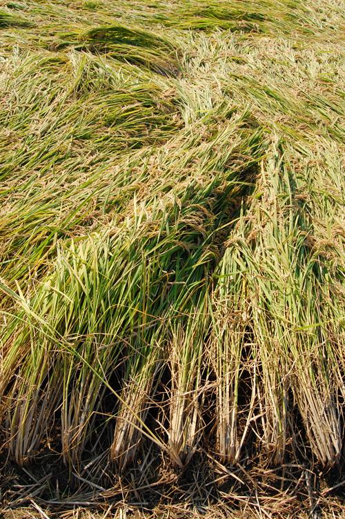 波打って倒伏した稲