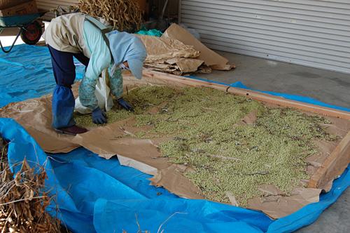 大豆を乾燥させます