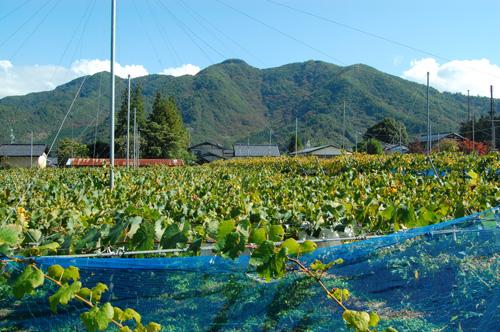 バスの中から見た雁田山とブドウ畑