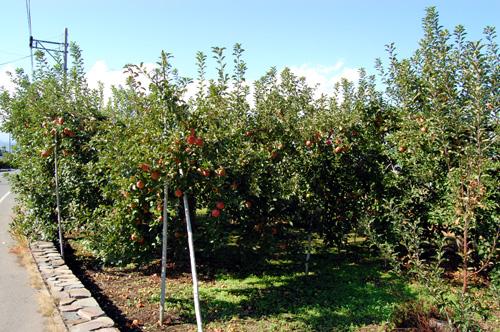 手の届くところにリンゴの木