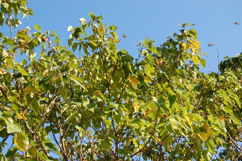 黄色に色づく木