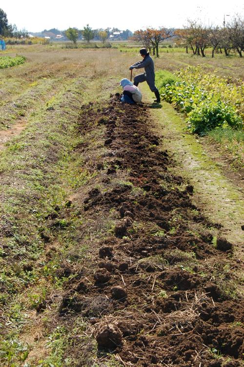 コンニャク芋の掘り起こし