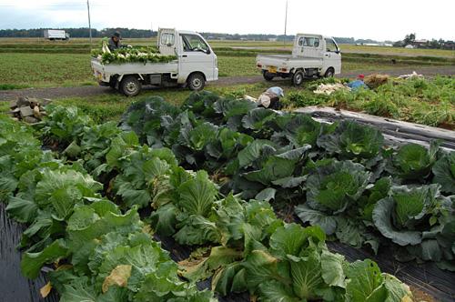 キャベツ畑と白菜畑