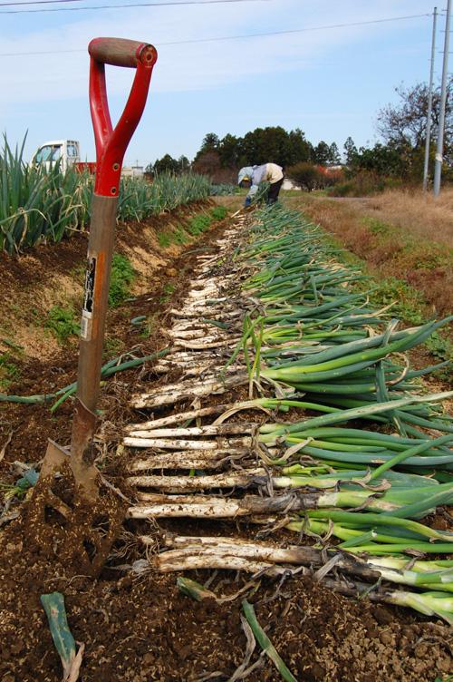 長ネギを収穫