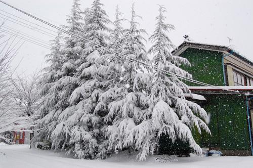 雪化粧をしたヒマラヤ杉