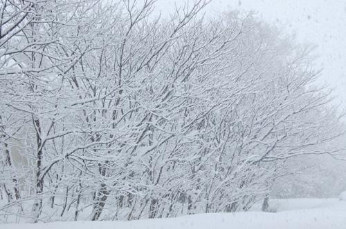 白くなった木々