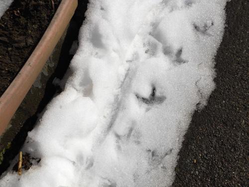 キジ(雉)の足跡