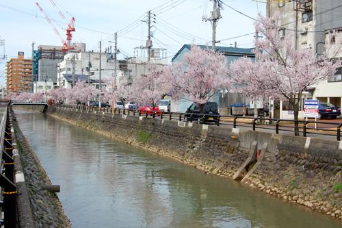 小彼岸桜の並木
