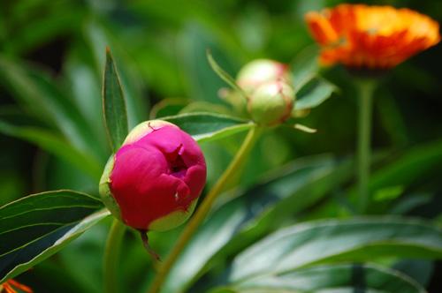 芍薬の蕾と金盞花