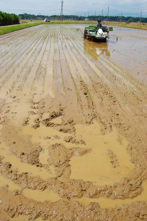 有機栽培米の圃場