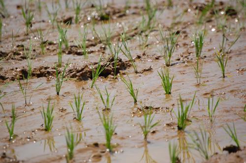 有機栽培米の苗