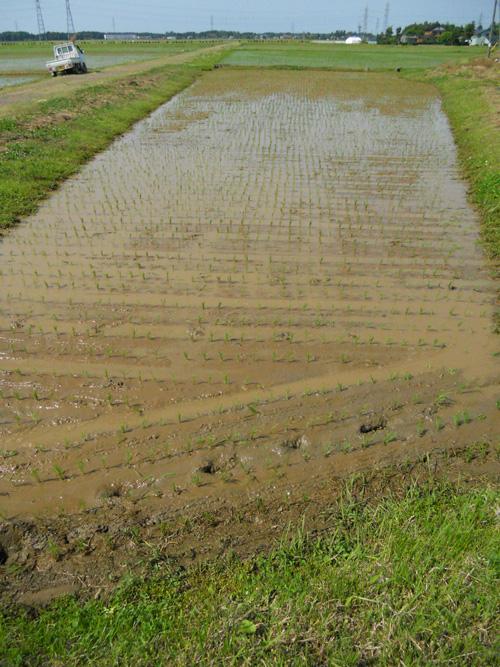 黒米の田植え、完了