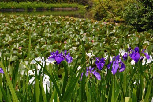 杜若(カキツバタ)と睡蓮(スイレン)の池