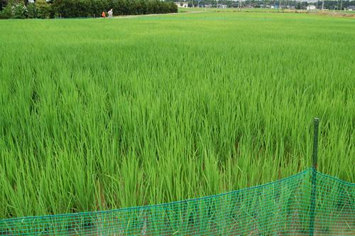 現在のアイガモ農法の田んぼ