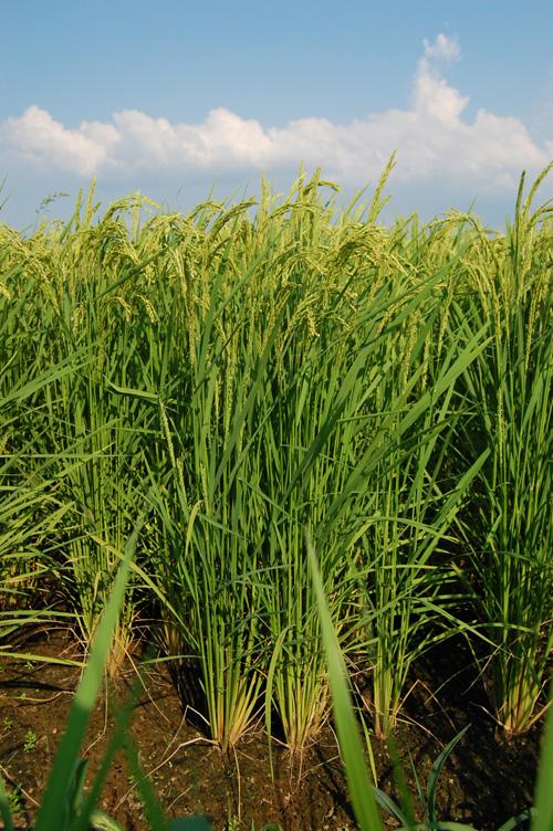鉄コーティング種籾直播栽培の稲