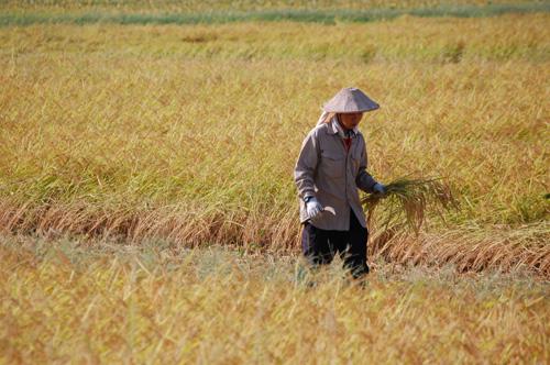 刈り残した稲