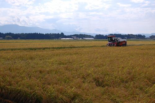 有機栽培米の稲刈り