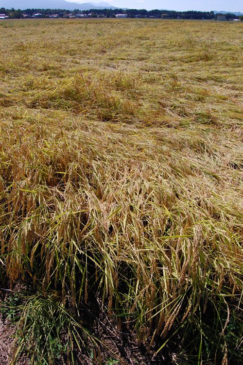 稲が倒れていました