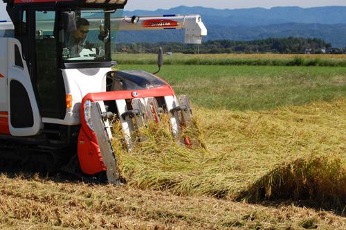 稲をすくい上げるように起こしながら刈る
