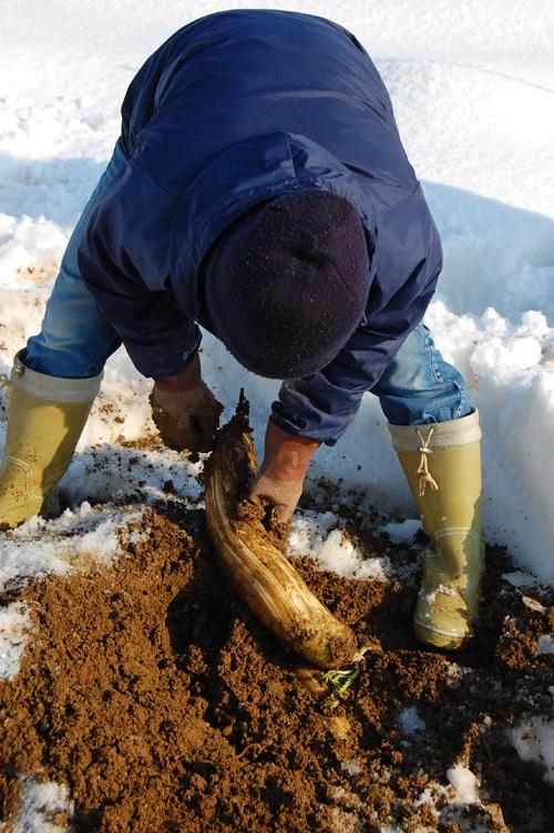 大根を掘り出します