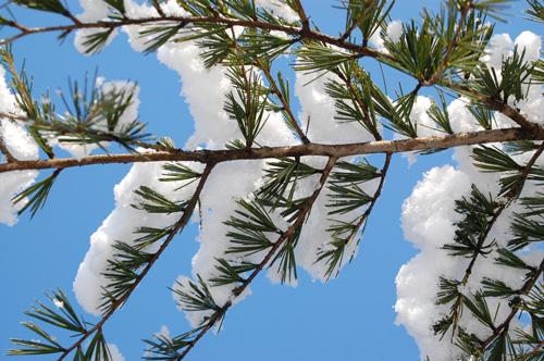 雪が積もったヒマラヤ杉の枝