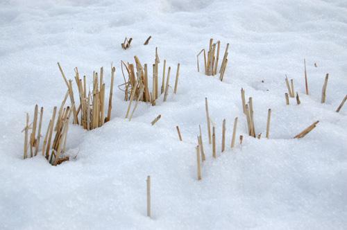 雪原に稲株