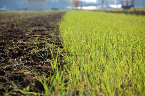 緑肥用のライ麦