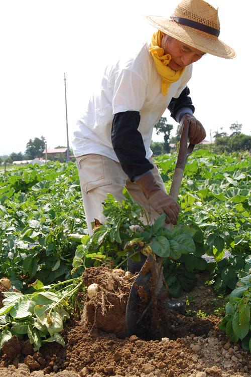 ジャガイモを株ごと掘り起こします