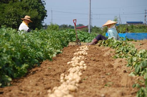 ジャガイモを掘り起こし