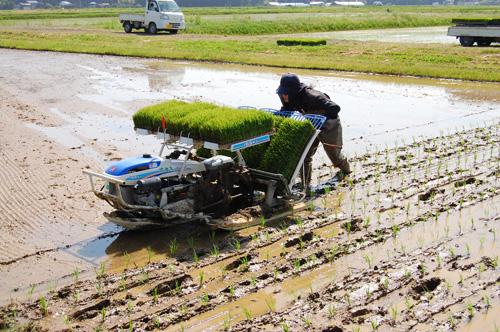 黒米の田植え