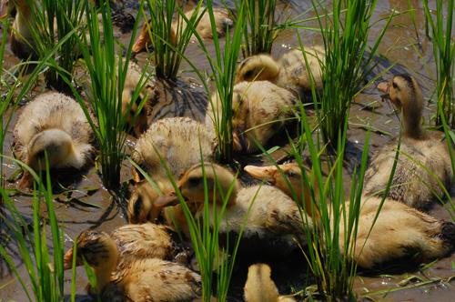 合鴨の若鳥