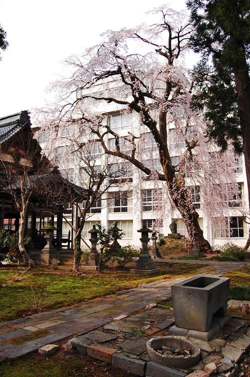 日朝寺のしだれ桜