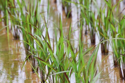 有機栽培米 黒米 朝紫