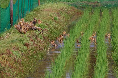 合鴨農法 アイガモ 有機栽培米