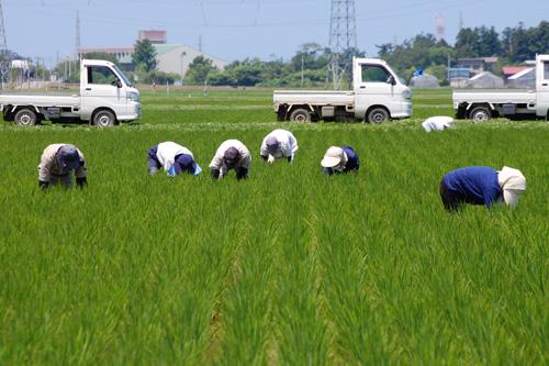 草取り 除草 有機栽培米 無農薬 田んぼ